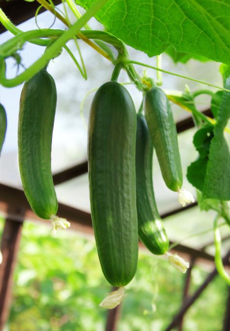 Agtira konsument Grönsaker utan bekämpningsmedel