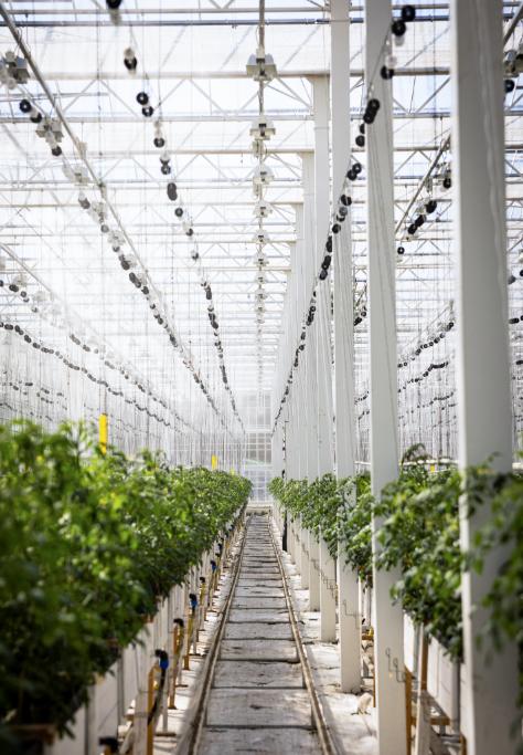 Växthus tomater